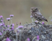 Little Owl posing on a rock with purple thistle flowers. Signed, archival giclée print of wild birds guaranteed fade-resistant for 75years.