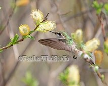 Ruby Throated Hummingbird Flight Photography | Spring Nature Photo | Pussy Willow Blooming Flower | Home Decor | Green Yellow | Hummer Print