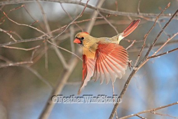Female cardinal in flight - photo#4