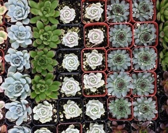 Succulent Plants. Assortment of 30 Gorgeous Echeveria Succulents. Wonderful grouping for weddings and shower favors.