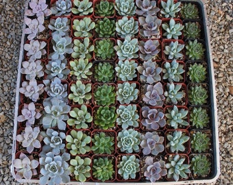 """50 All ROSETTES  Succulent WEDDING FAVORS in 2"""" plastic square containers  succulents make great gifts favor flowers~"""