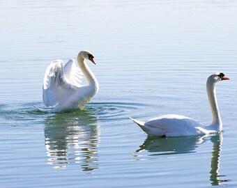 Check Me Out - Original Fine Art Photograph - Swans