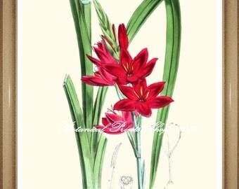 "Botanical Print. Schizostylis. Floral Art,  5x7"", 8x10"", 11x14"