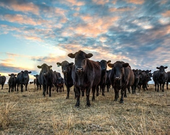 Angus cattle, Western art, black Angus cattle, livestock photo, ranch photography, wall art, cattle photography, canvas, Free Shipping