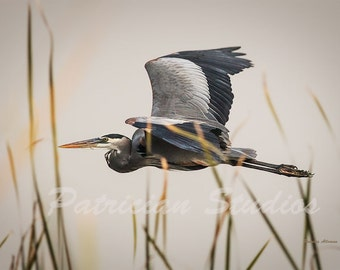 "Great Blue Heron in Flight: ""Cruising"""