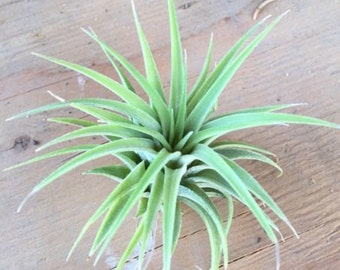 Tillandsia Maxima Air Plant