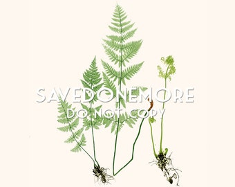 Vintage Botanical Fern Print Instant Download Make Your Own Art {Fern 21}