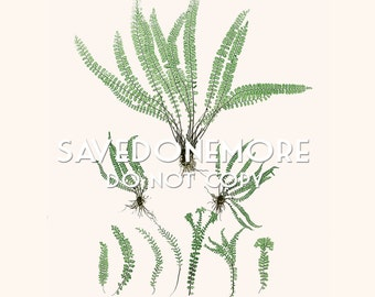 Vintage Botanical Fern Print Instant Download Make Your Own Art {Fern 39}