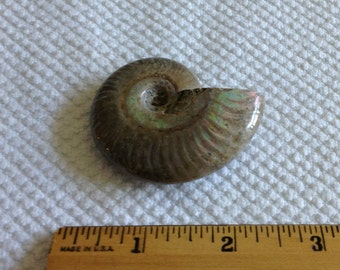 Beautiful Fossil Ammonite with Mother of Pearl Luster from Madagascar