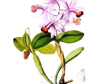 Flower Print - Orchids - Cattleya violacea - 1979 Vintage Book Page - Large Print For Framing - 15 x 12