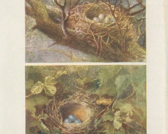 1906 Antique Tiny Bird Nest Picture 1, Egg, Missel Thrush Song Thrush, Country Cottage Decor Woodland Art, Woodland Nursery, Natural History
