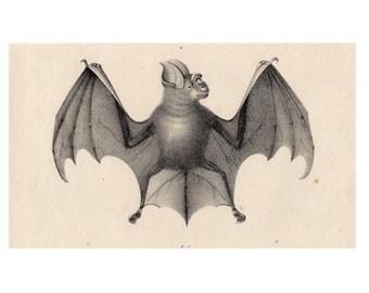 1824 ANTIQUE BAT PRINT original antique lithograph nocturnal mammal Chiroptera