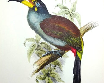 Toucan Tropical Bird Print by John Gould, Big 12x15 Avian Plate c1960s, Vintage, Colorful, Frameable, Mountain Aracari, Andigena Hypoglauca