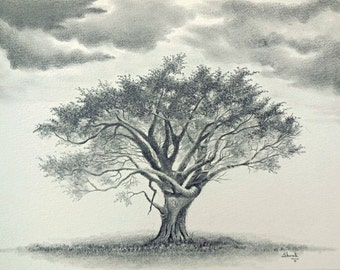 Whistling Thorn Acacia Tree Graphite Drawing
