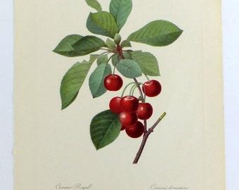 Redouté Cherries Poster, Botanical Picture, Botanical Illustration, Cerisier, Vintage Botanical Poster, Very large Botanical Print
