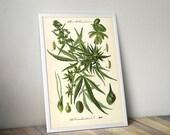 Marijuana Wall Poster Illustrated Fine Art Home Interior Botanical Decor of Cannabis Sativa from Kohlers Medicinal Plants Cannab