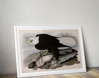 Bald Eagle Poster Print White Headed Eagle illustration by John J. Audubon in Birds of America Avian Interior Home Decor Wall Art Print