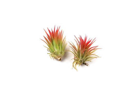 12 air plants wholesale ionantha fuego set of 12 air plants fast