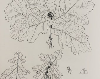 Common Oak Tree Species - Large Antique Botanical Print in Monochrome or Black and White