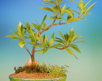 Indoor Flowering Gardenia Bonsai Tree Gift in Metallic, Hand-painted Bonsai Bowl