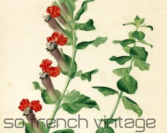 1861 Botanical print Cuphea by Orbigny Original Antique Handcolored Botany Natural History Fine Art Framing