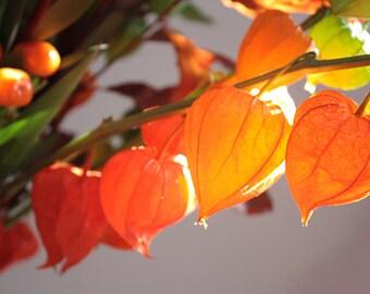Chinese Lantern -Physalis alkekengi Franchetii Seed- 25 ct.