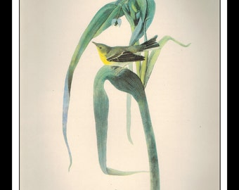 Vintage Book Print 1950's Audubon Bird Of America : Pine Warbler Single Page Wall Art Decor Print