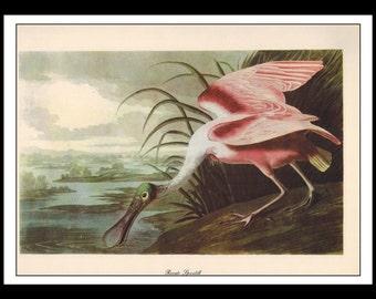 Vintage Book Print 1950's Audubon Bird Of America : Roseate Spoonbill Single Page Wall Art Decor Print