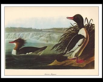 Vintage Book Print 1950's Audubon Bird Of America : American Merganser Single Page Wall Art Decor Print