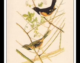 Vintage Book Print 1950's Audubon Bird Of America : Towhee Single Page Wall Art Decor Print