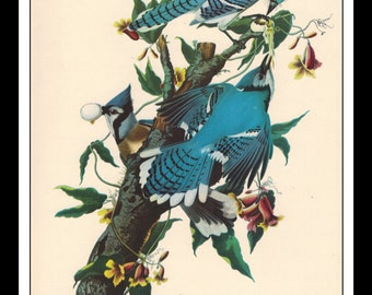 Vintage Book Print 1950's Audubon Bird Of America : Blue Jay Single Page Wall Art Decor Print