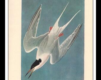 Vintage Book Print 1950's Audubon Bird Of America : Roseate Tern Single Page Wall Art Decor Print