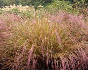 garden plants 4 seeds Perennial Anemanthele lessoniana Pheasant's Tail Grass, New Zealand Wind Grass, Stipa arundinacea seeds