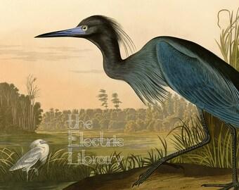 Audubon Blue Heron Digital Download: A Magnificent Blue Bird in Wetlands Landscape at Sunset