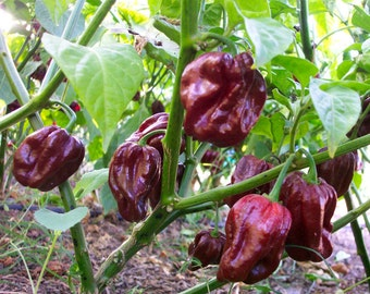 Ghost Bhut Jolokia Brown Hot Pepper live plant