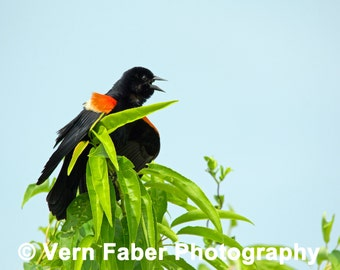 Red-winged Blackbird, Bird Photo, Red-winged Blackbird Photo, Nature Photo, Photograph Print
