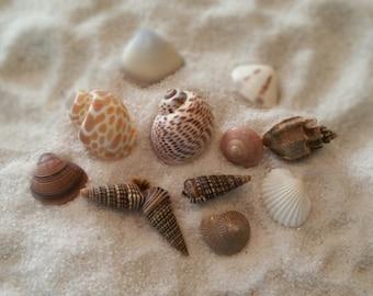 Small natural sea shells  Bulk Shells