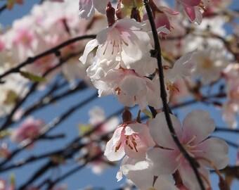 """Cherry Blossom Branch 58"""" Long"""