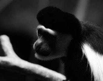 Colobus Monkey Black and White Photo Print