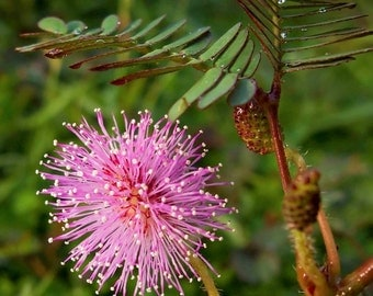 Mimosa Pudica Seedling - (Sensitive or shy plant)