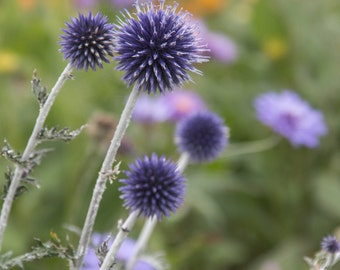 Globe Thistle. Impressionist style-flower photography. Home decor. Purple, yellow and greens. Summer garden.