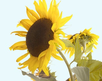 8 x 10 Sunflower Print,  Garden  Print, Sunflower Wall Art, Yellow Cottage Chic Home Decor, Rustic Decor
