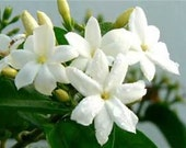 Jasmine Bouquet Perfume Oil 3 ml