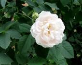 Organic Rosewater from Rare Organic White Roses