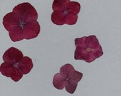 Pressed Hydrangea Flowers Ruby Red (natural color) 30 each