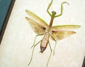 Mantidae Sp- Slim Real Framed Insect Praying Mantis 8285S