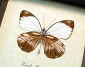 Haballia Mandela Verso Real Framed White and Brown Butterfly 8363