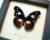 Hypolimnas Dinarcha Dinarcha Real Framed Rare Large Variable Eggfly Butterfly 8349