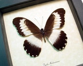 Papilio Mechowianus Real Framed Rare Wide-Banded Swallowtail Butterfly 8353
