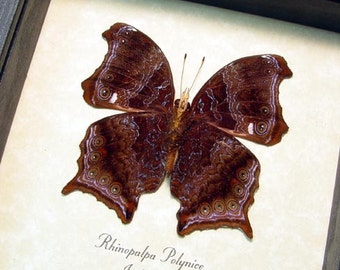 Real Framed Rare Rhinopalpa Polynice Male The Wizard Butterfly 8341